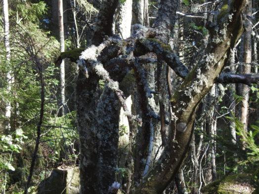 Vanhassa metsässä